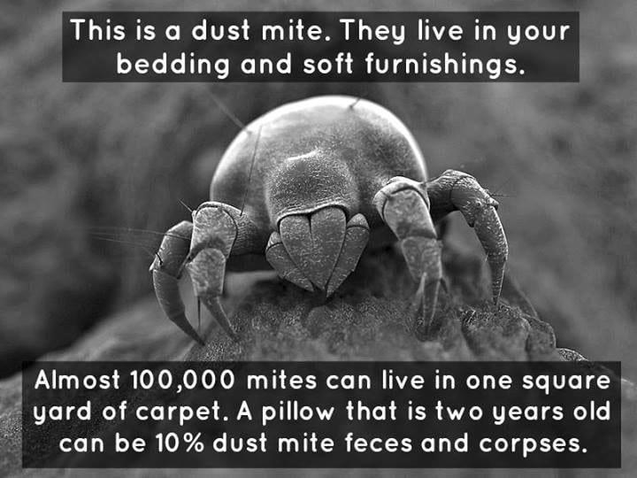 dustmites